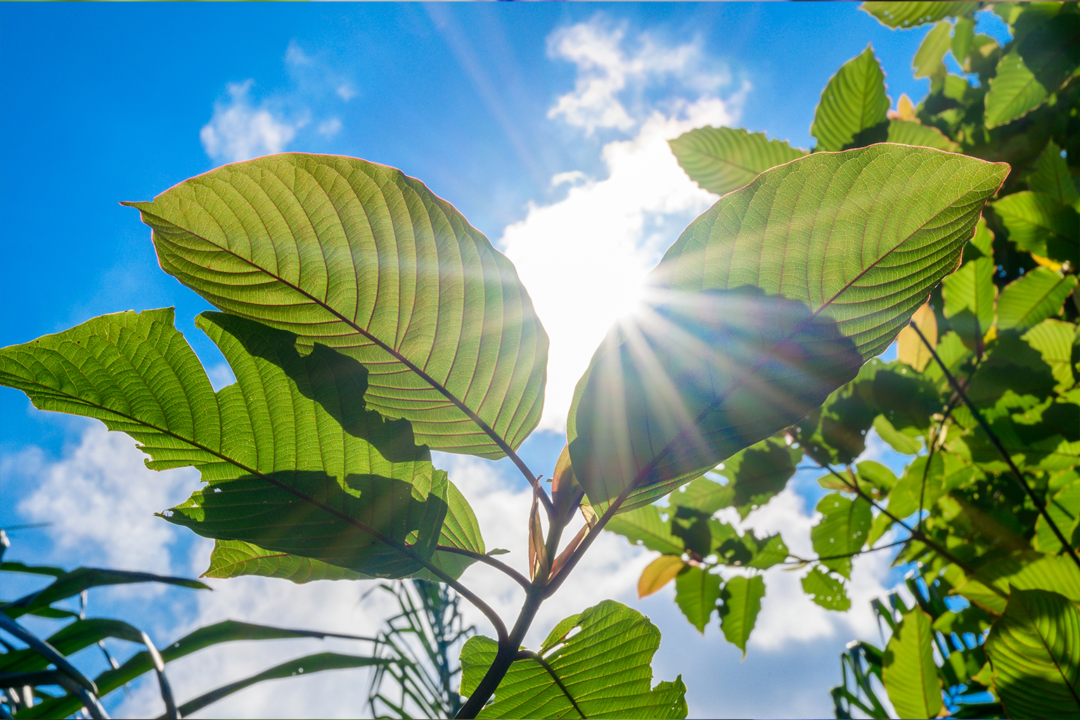 Assume Of A Kratom Fallen Leave Currently, Attract A Kratom Fallen Leave